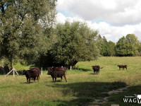 WAGYU Herde